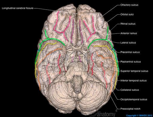 3d-brain-cerebral-sulci-en_medical512